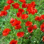 Bright poppies in North Norfolk